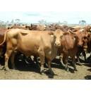 120 Braham, Brahman X Cow & Calves